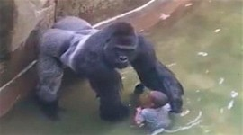 Racism or Bad Parenting in the Gorilla Killing in Cincinnati Zoo?
