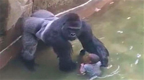 Racism or Bad Parenting in the Gorilla Killing in Cincinnati Zoo?